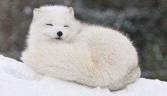 Giống cáo tuyết và câu chuyện ít ai biết về tập tính của chúng