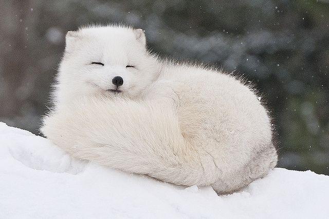 Cáo tuyết có những tập tính mà không phải ai cũng biết