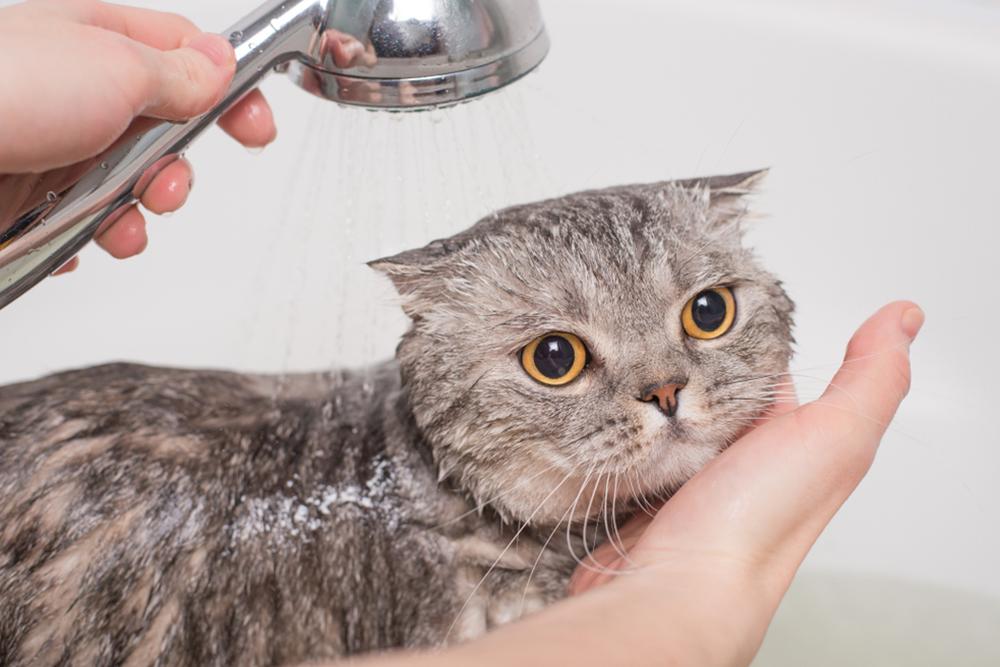 Các chú mèo Anh lông ngắn rất thích tắm gội