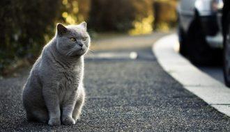 Chăm sóc mèo Anh lông ngắn thế nào mới đúng?