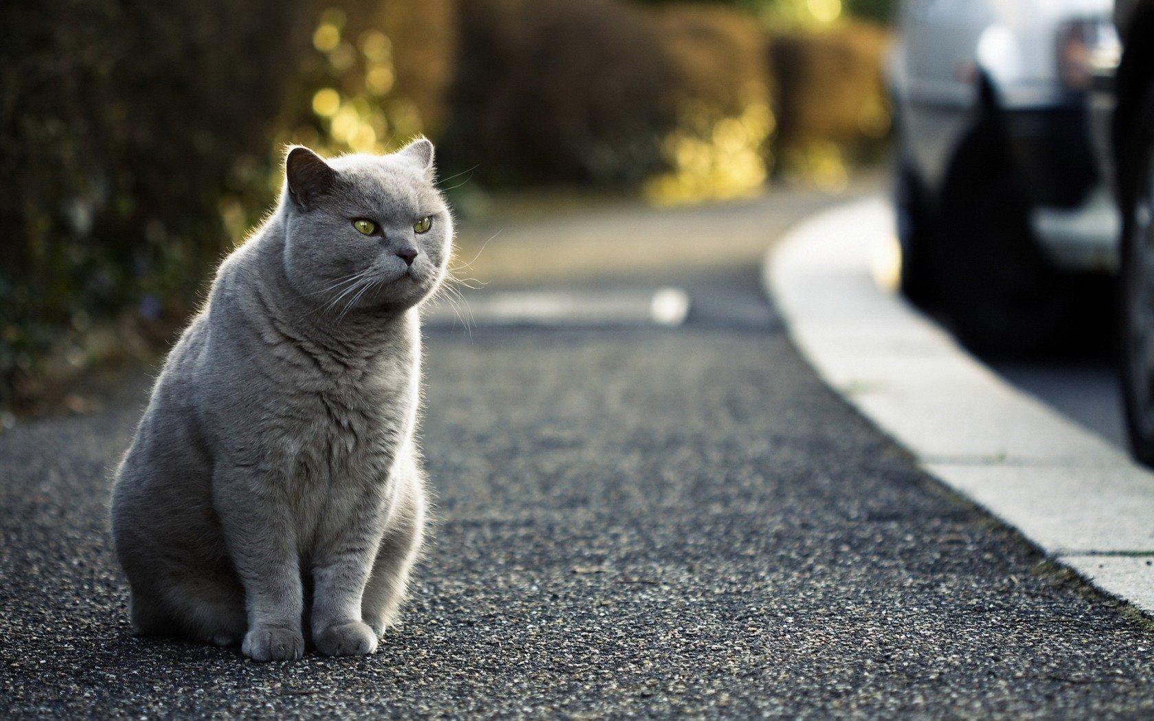 Mèo Anh lông ngắn là giống mèo quý, có giá khá đắt đỏ