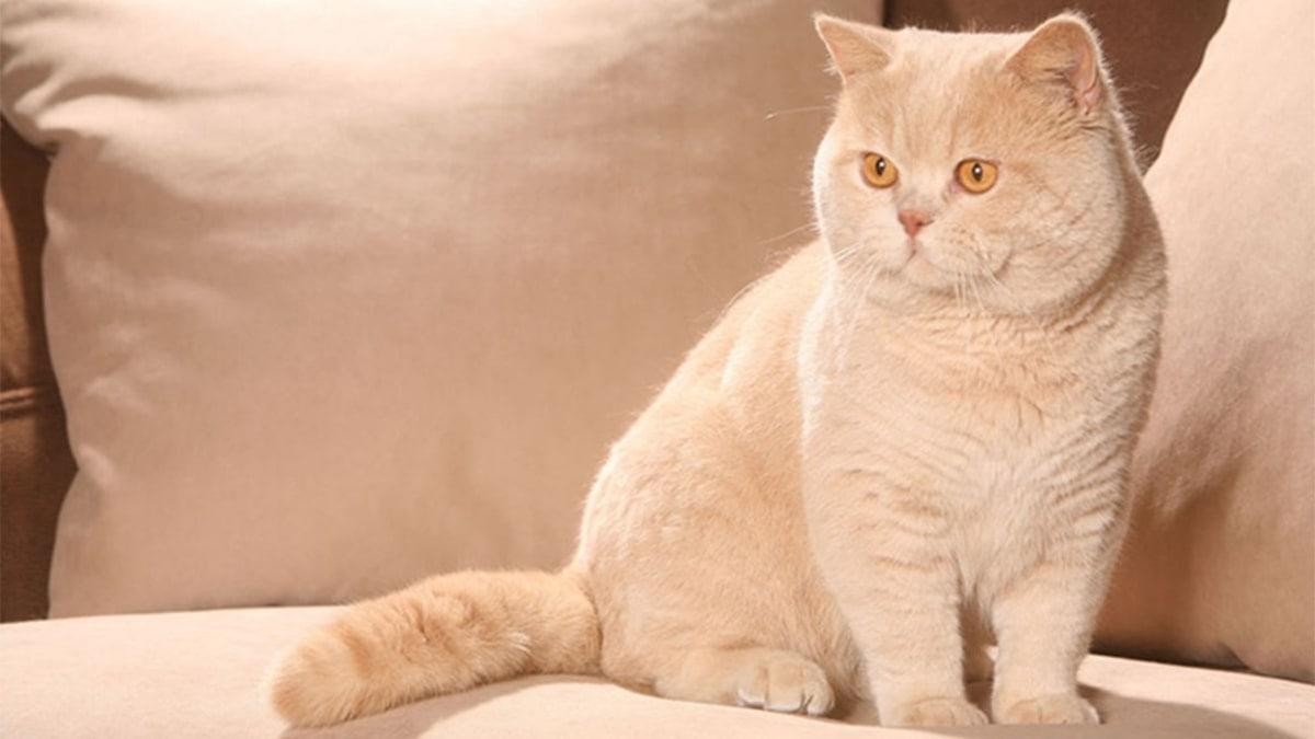 Vận động thường xuyên là cách để mèo Anh lông ngắn giảm béo hiệu quả