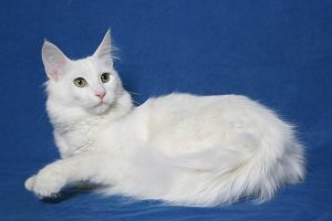 Mèo cảnh Angora Thổ Nhĩ Kỳ được rất nhiều gia đình hiện nay lựa chọn nuôi
