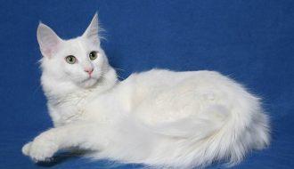 Chế độ chăm sóc dành riêng cho giống mèo Angora Thổ Nhĩ Kỳ