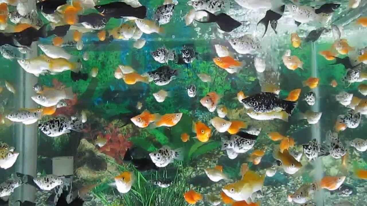 Cho cá vào bể cá cẩn thận