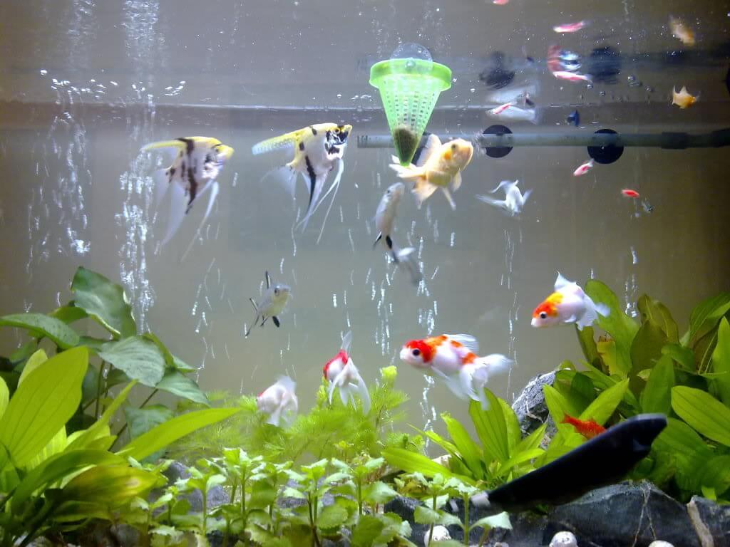 Cá cảnh sống và phát triển tốt trong nhiệt độ từ 26 – 30