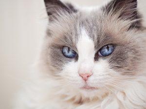 Mèo Ragdoll có ngoại hình dễ thương nên được nhiều người chọn nuôi