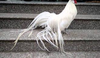 Cách nuôi Gà Phoenix tại Việt Nam (gà Phượng Hoàng)