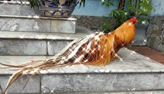Chia sẻ kinh nghiệm nuôi gà phoenix giống phượng hoàng đuôi dài