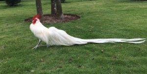 Chia sẻ những thông tin về giống gà Phoenix đến từ Anh quốc