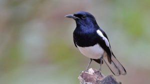 Tổng quan về chim chích chòe