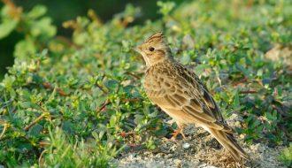 Chim sơn ca - loài chim có giọng hót mê mẫn lòng người