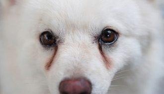 Chó bị đau mắt và cách xử lý tại nhà tốt nhất