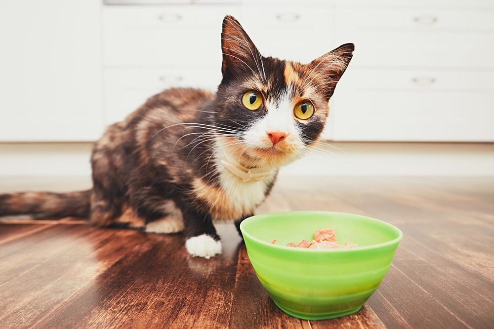 Cho mèo ăn cơm có được hay không?
