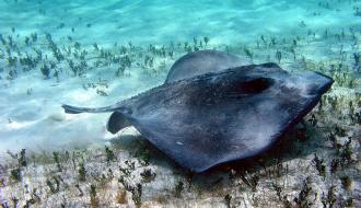 Cùng nhau khám phá về loài cá Đuối nước ngọt