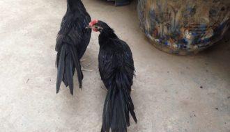 Gà Sumatra đặc điểm và cách chăm sóc để trở thành gà chiến