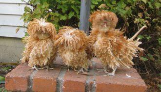 Giới thiệu về gà Ba Lan và cách chăm sóc chúng trong chu kỳ vòng đời