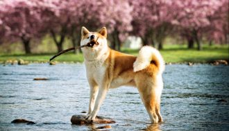Giống chó Akita Inu - Quốc khuyển tinh anh của Nhật Bản