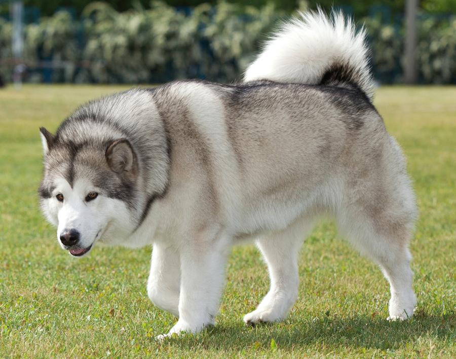 Nguồn gốc xuất xứ của giống chó Alaska