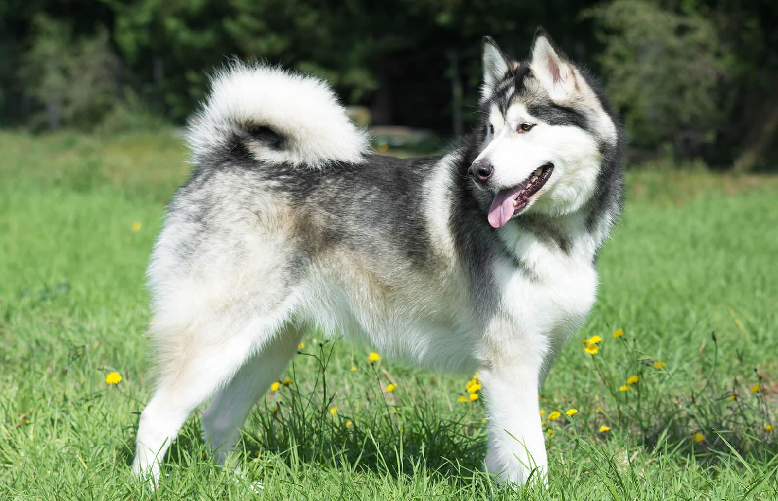 Các giống chó Alaskan Malamute phổ biến trên Thế Giới
