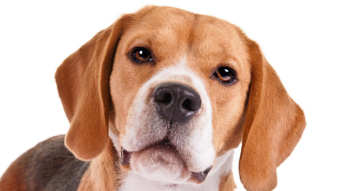 Giá giống chó Beagle trung bình 2021