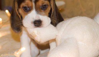 Giống chó Beagle đáng yêu và thân thiện thích hợp làm thú cưng