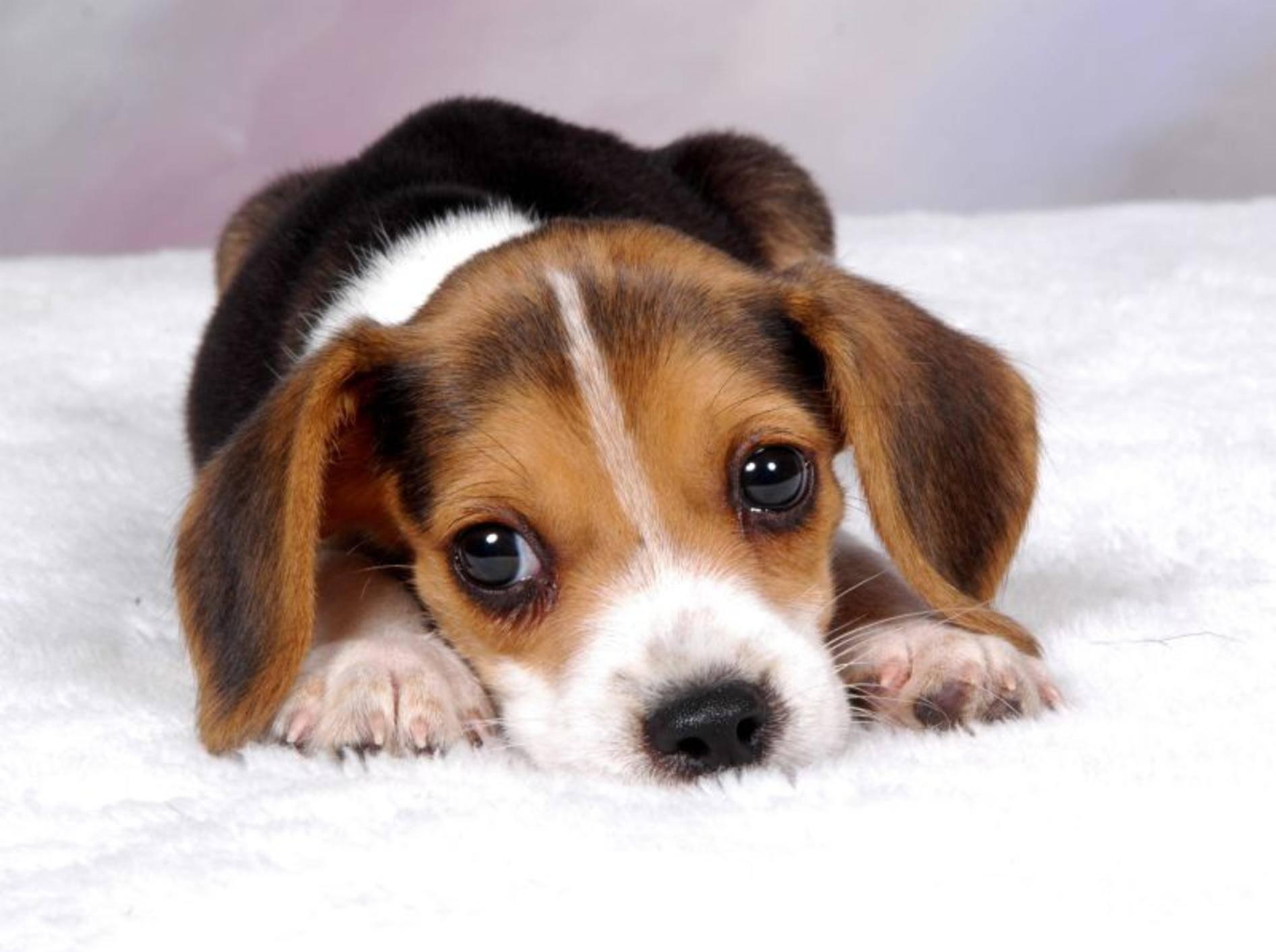 Các vấn đề sức khỏe thường gặp ở giống chó Beagle