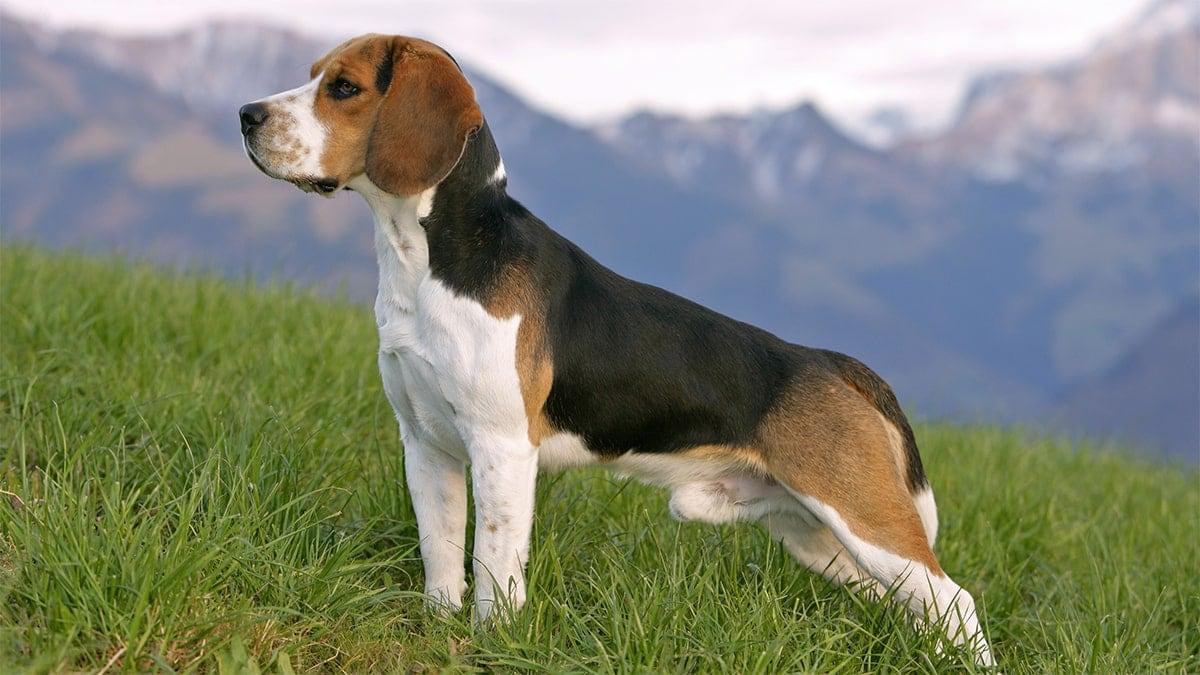 Nguồn gốc giống chó Beagle