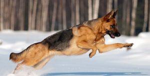 Giống chó Becgie - Người bạn trung thành đầy dũng mãnh và thông minh