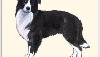 Giống chó Border Collie - Bậc thầy chăn cừu đỉnh cao