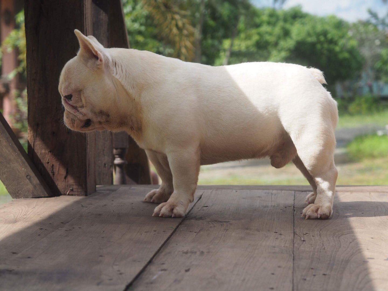 Phân biệt giống chó Bulldog Pháp và chó Boston