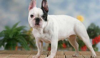 Giống chó Bulldog Pháp - Mãnh thú nhỏ bé đáng yêu và lanh lợi