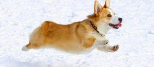Giống chó Corgi - Cậu bé Anh Quốc chân ngắn đáng yêu
