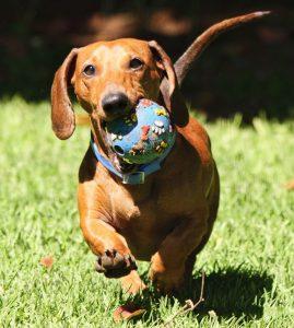 Giống chó Dachshund - Khúc lạp xưởng di động đáng yêu nhất hành tinh