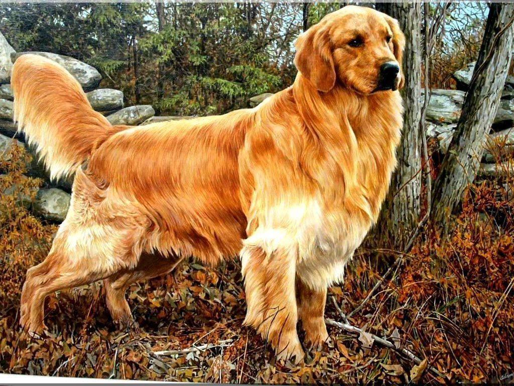 Giống chó Golden Retriever có mấy loại?