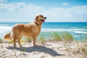 """Giống chó Golden Retriever - Thú cưng """"quốc dân"""" siêu đáng yêu"""