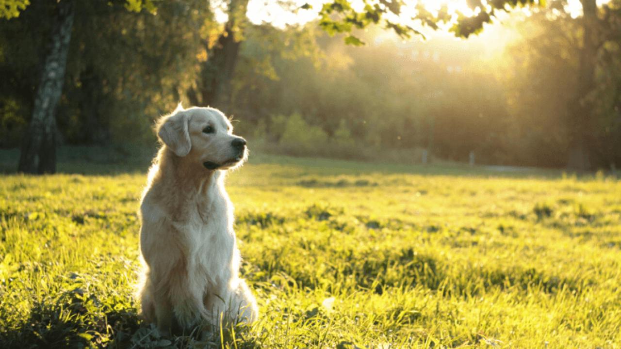 Cách nuôi chó Golden chưa chắc ai cũng biết