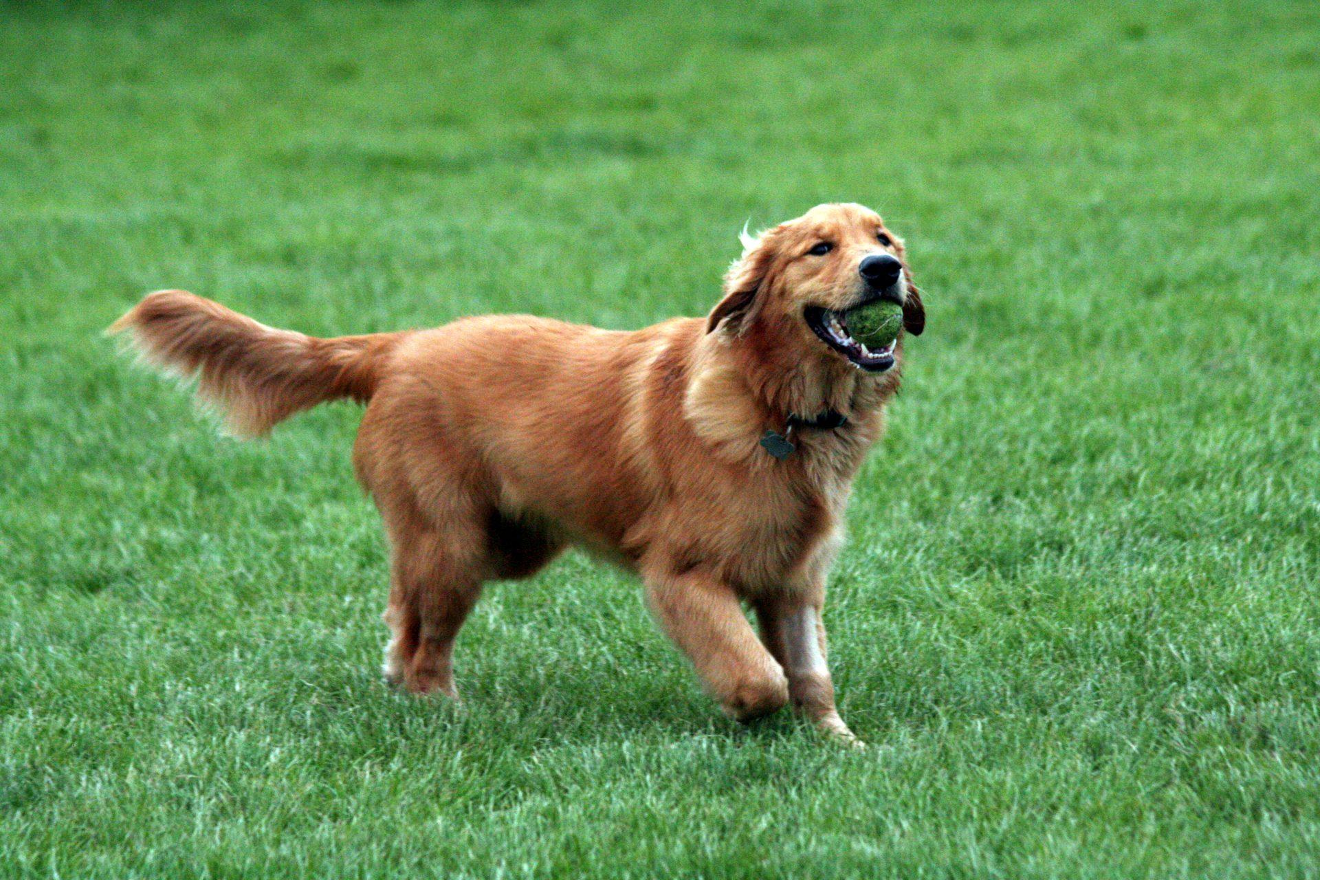Nguồn gốc của giống chó Golden Retriever