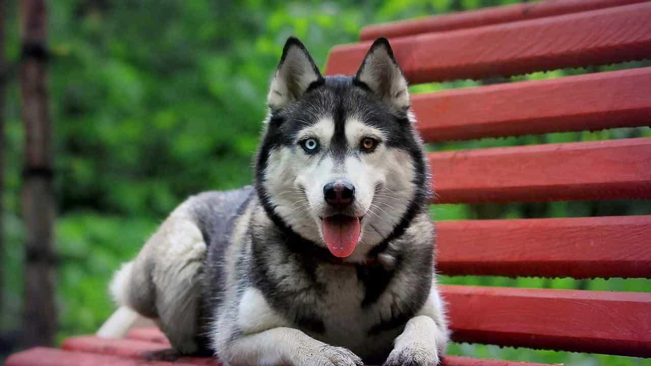 """Giống chó Husky """"ngáo"""" hơn Alaska"""