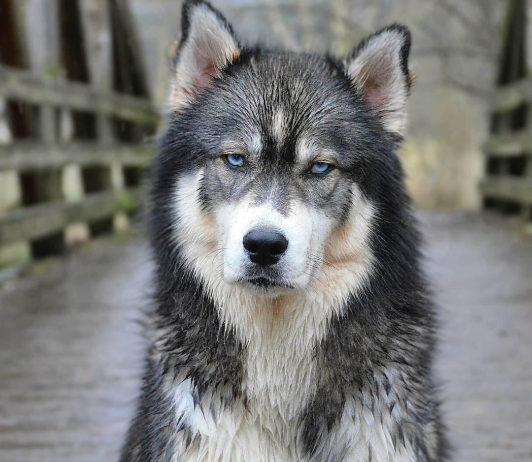 Bạn nên khen thưởng Husky khi bé hoàn thành bài luyện tập
