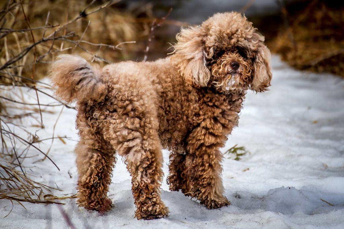 Giống chó Poodle có bao nhiêu loại?