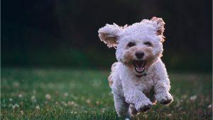 Giống chó Poodle - Cô nàng kiêu kỳ bậc nhất của thế giới thú cưng