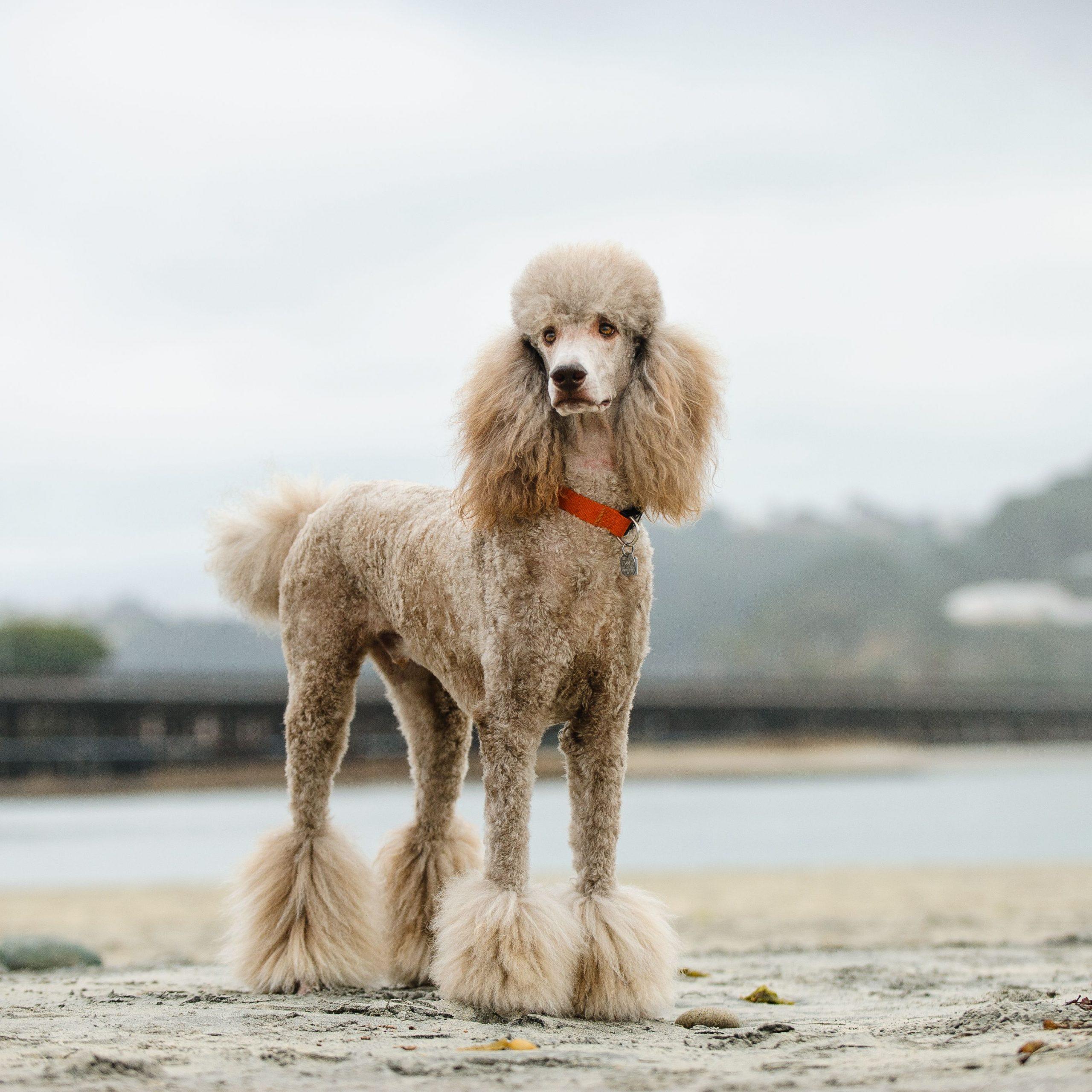 Cách nuôi dưỡng và huấn luyện giống chó Poodle