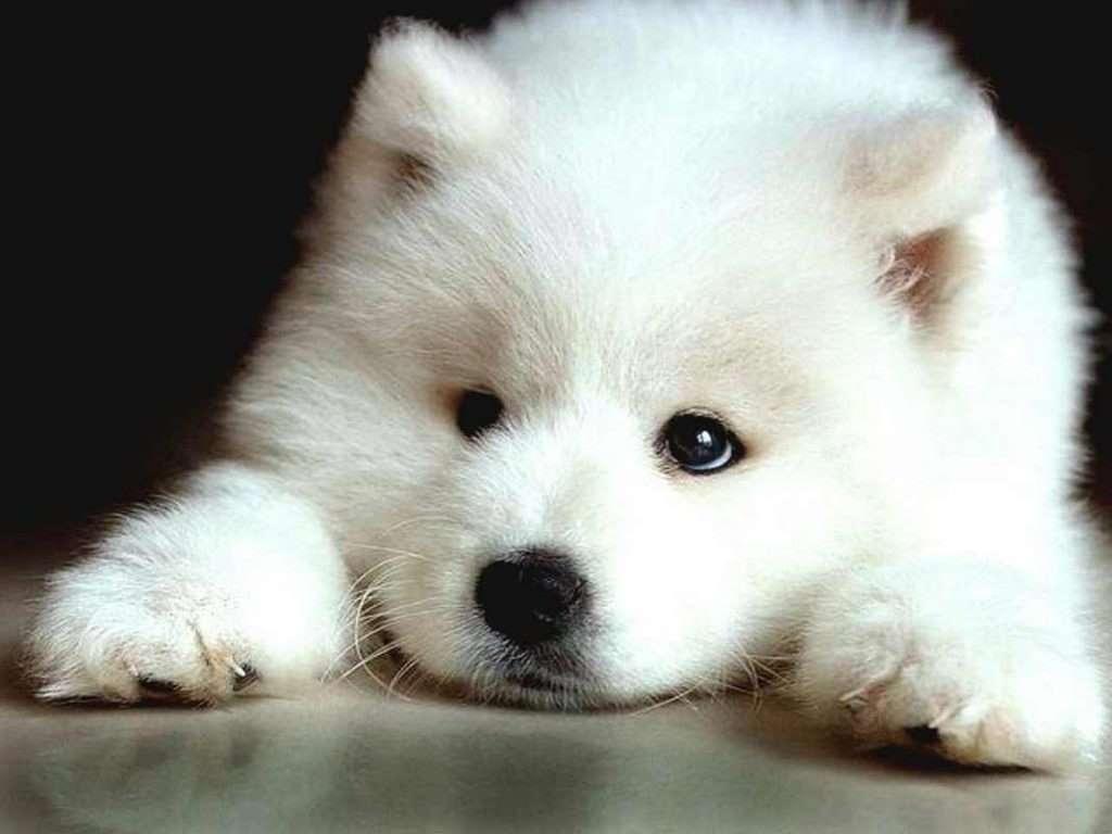 Giống chó Samoyed - Công chúa Bạch Tuyết kiêu kỳ của loài chó