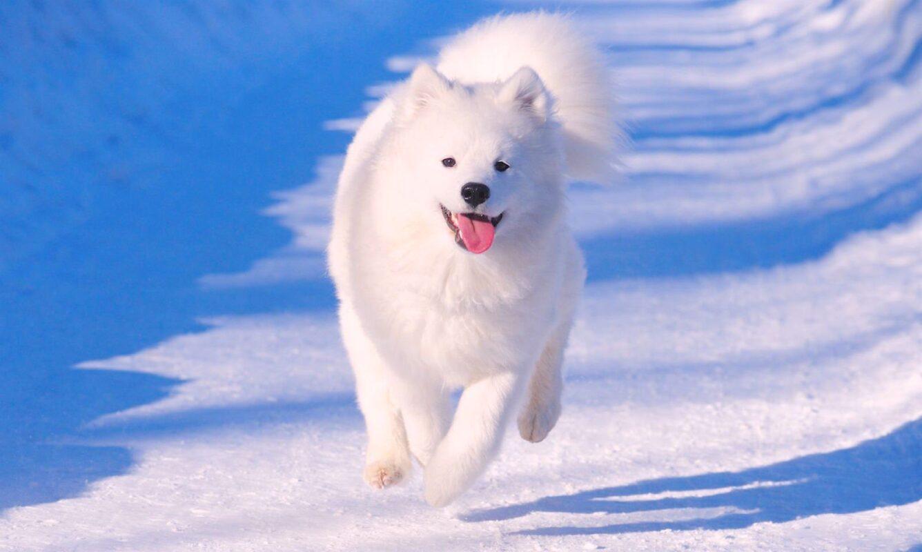Nguồn gốc của giống chó Samoyed là ở vùng Siberia.