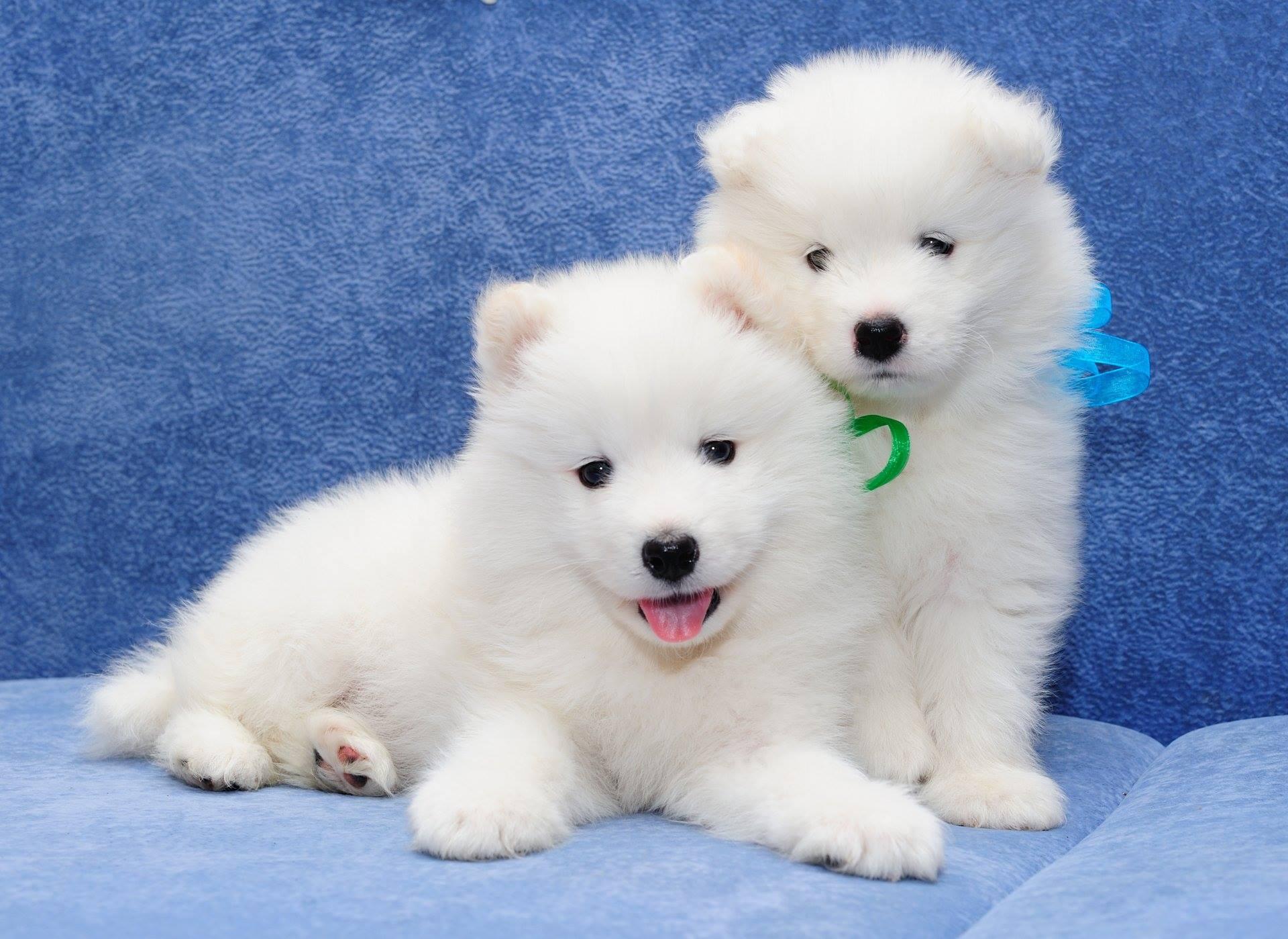 Giá trung bình cho một chú chó Samoyed khá cao