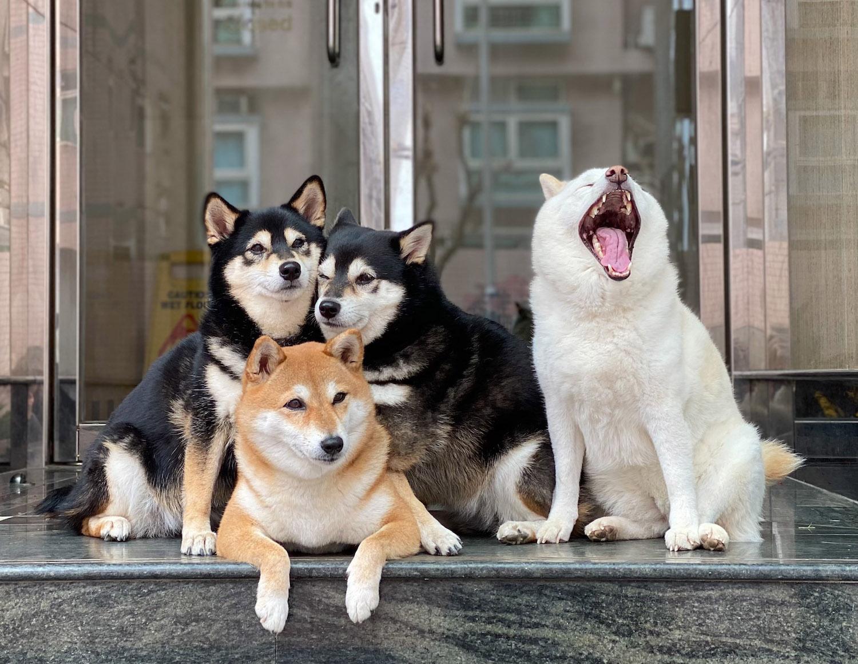 So sánh giống chó Akita và Shiba