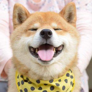 Giống chó Shiba Inu - Giống chó sống tình cảm và trung thành nhất