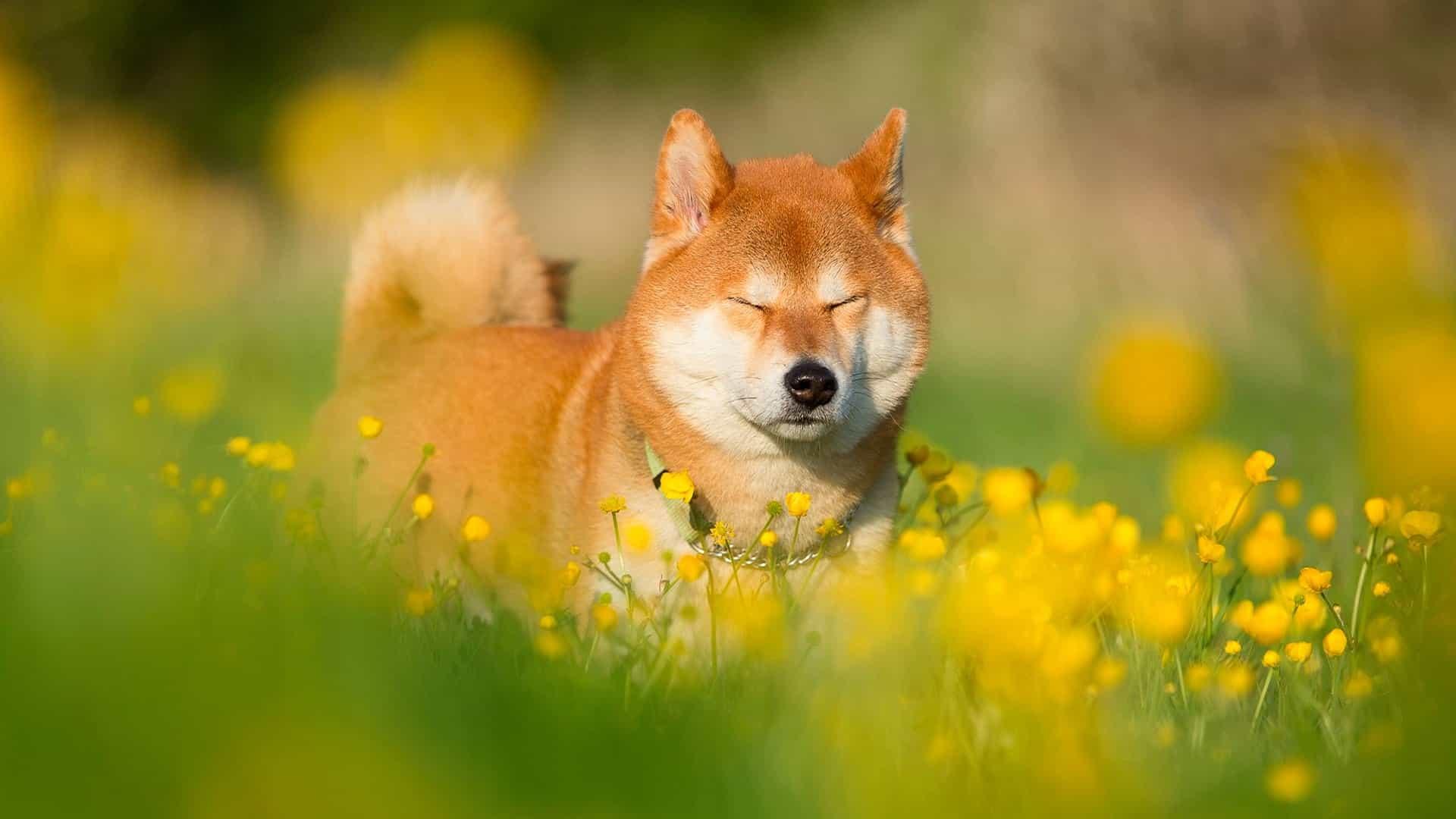 Nguồn gốc của giống chó Shiba