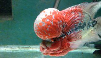 Gợi ý cách điều trị bệnh thường gặp ở cá La hán